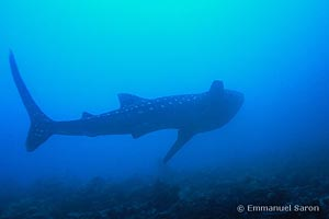 Rhincodon typus, récif de Maamagili, Maldives, Profondeur 15 mètres.