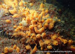 Amphilectus fucorum