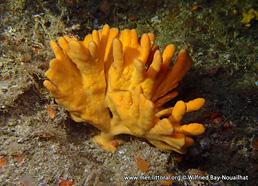 Axinella dissimilis