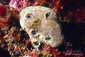 Sarcotragus fasciculatus