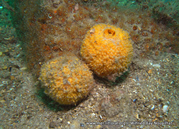 Tethya citrina
