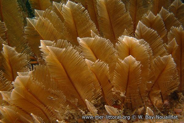 Gymnangium montagui