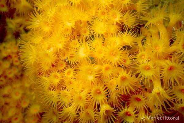 Parazoanthus axinellae