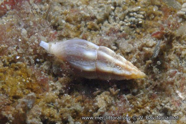 Haedropleura septangularis