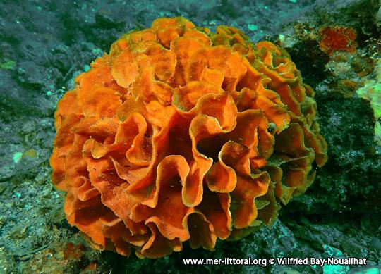 Pentapora foliacea