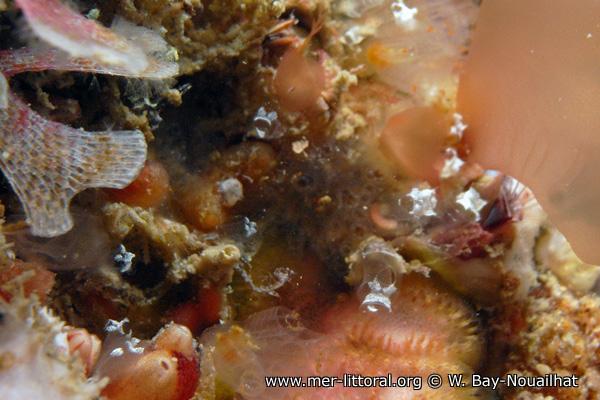Pycnoclavella stolonialis